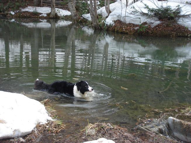 雪解けの池で泳ぐボ−ダーコリー