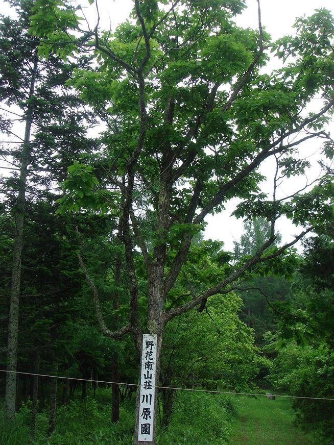 野花南山荘の看板樹
