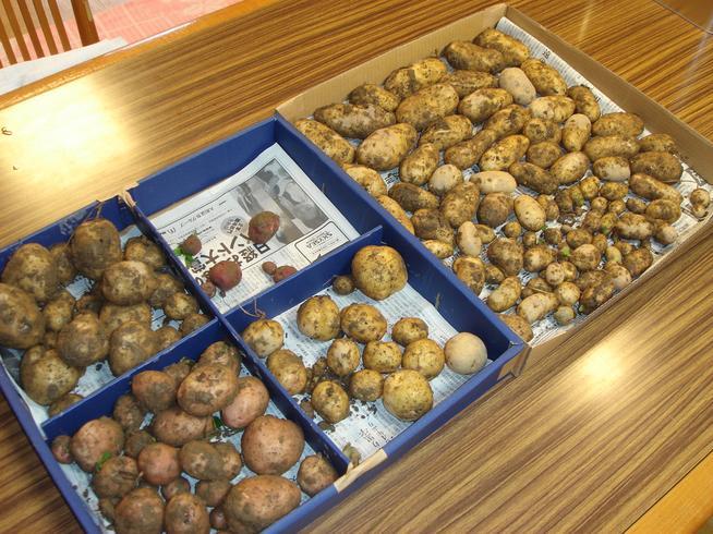 野花南山荘のジャガイモ