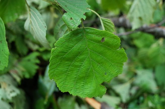 ケヤマハンノキの葉