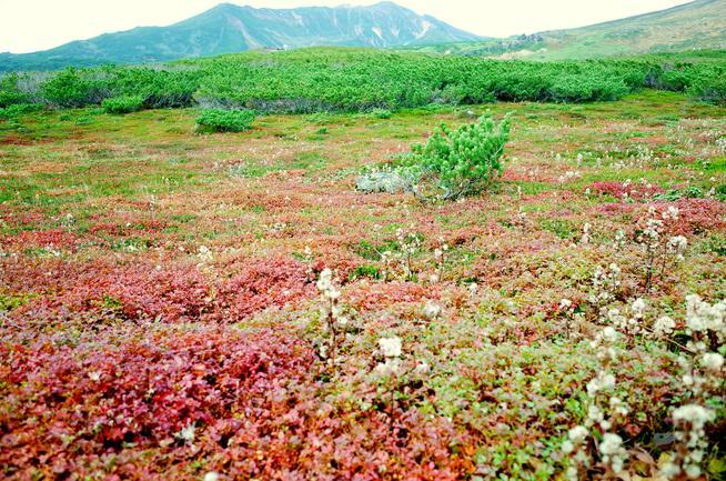旭岳チングルマの紅葉とミヤマアキノキリンソウの綿毛