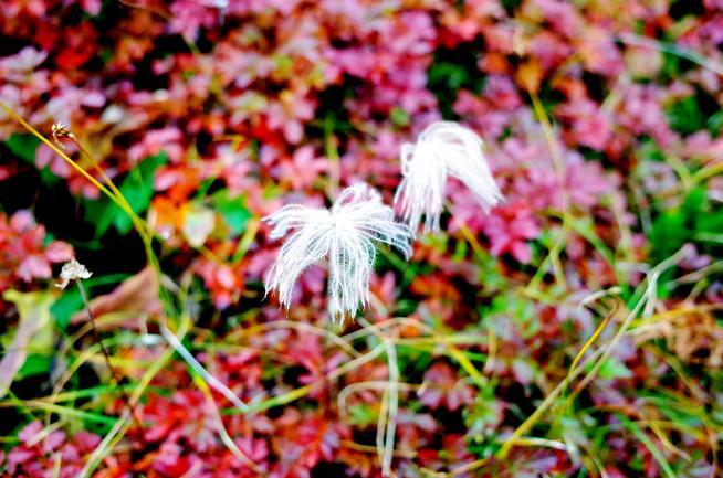 チングルマの枯れた花