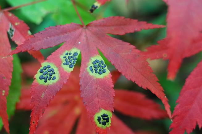 小黒紋病ヤマモミジの紅葉