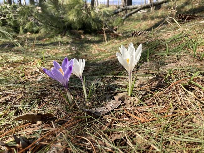 春を告げるクロッカス
