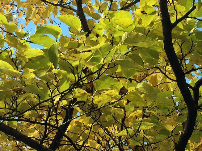 霜桑葉・ヤマグワの葉