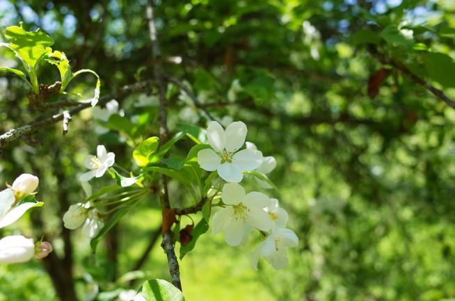 ヒメリンゴ白い花