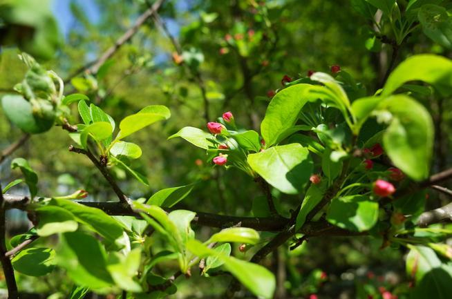 エゾノコリンゴ紅いツボミ