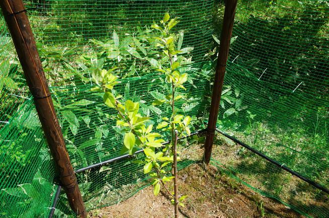 孫の記念樹リンゴの木