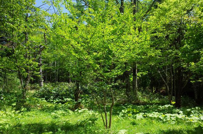 孫の記念樹3本のハルニレ