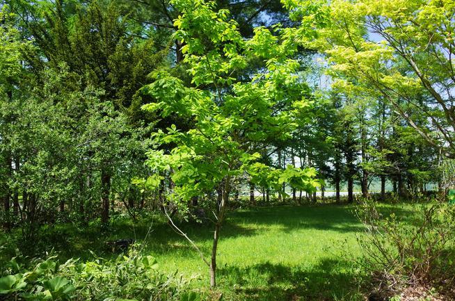 初孫の記念樹ミズナラの幼木