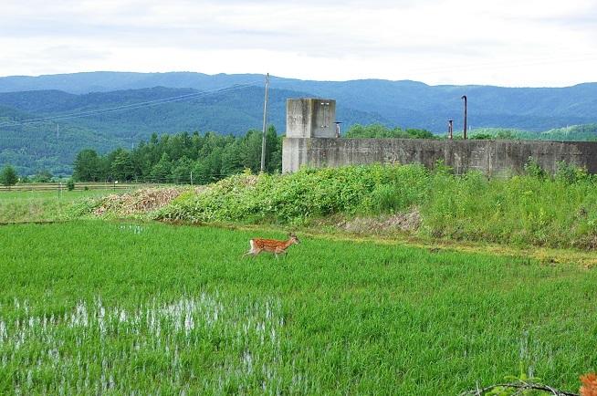 田んぼの中のエゾシカ