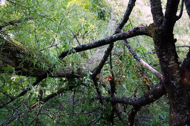 柳の大木倒木