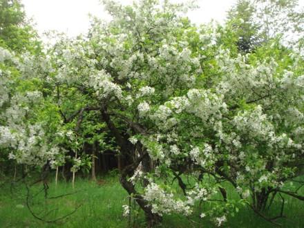 エゾノコリンゴ