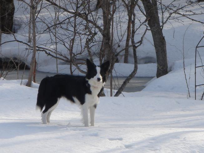 雪ではしゃぐボーダーコリー