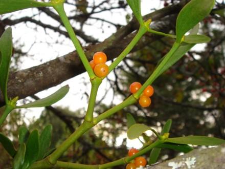 宿り木の実